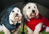 Dressed up dogs under umbrella — Stock fotografie