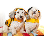 Cute dogs in costumes — Stock fotografie
