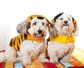 симпатичные собаки в костюмах — Стоковое фото
