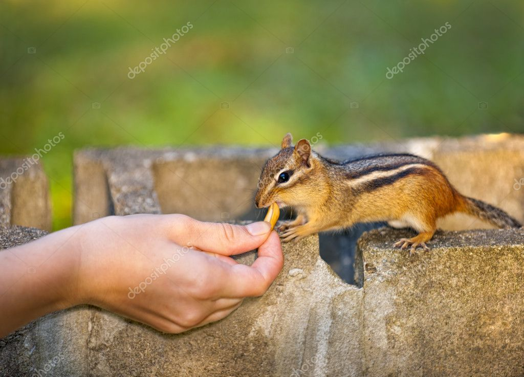 Female hand feeding peanut to wild chipmunk  Stock Photo #8943771