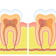 Stock Vector: Internal structure of tooth