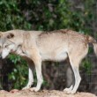 Grey wolf — Stock Photo #10028697