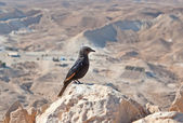 Female Tristram's starling — Stock Photo