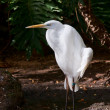 The cattle egret — Stock Photo