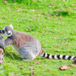 Ring-tailed lemur sniffs tree stump — Stock Photo