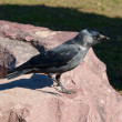 Jackdaw — Stock Photo #9083850