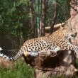 Leopard rests - Stock Photo