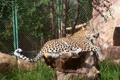 Leopard rests — Stock Photo
