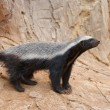 Honey badger — Stock Photo #9526532