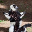 Black-and-white ruffed lemur — Stock Photo