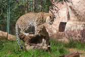 Leopar dostum — Stok fotoğraf