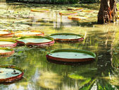Victoria Regia - the largest water lily in the world, tipical of — Stock Photo