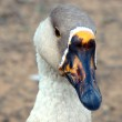 Goose portrait — Stock Photo #10456571