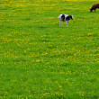 Cows lying on green grass — Foto Stock