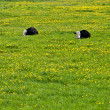 Cows lying on green grass — Stock Photo