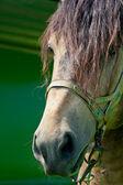 Cavalo de retrato — Foto Stock