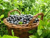 Blueberry crop — Stock Photo