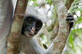 Red colobus (Piliocolobus kirkii) monkey — Stock Photo