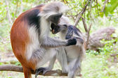 Red colobus (Piliocolobus kirkii) monkeys — Stock Photo