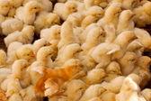 Velká skupina baby kuřat — Stock fotografie