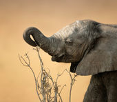 Baby elephant reaching for branch — Stock Photo