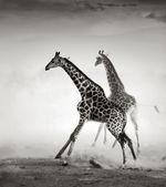 Girafas fugindo — Foto Stock