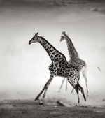 Giraffes fleeing — Stock Photo
