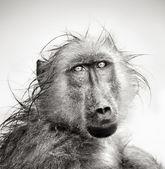 Retrato de babuíno molhado — Foto Stock