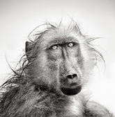 Wet Baboon portrait — Stock Photo