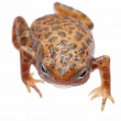 Animal amphibian frog — Stock Photo