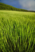 Green corn field under the stormy summer sky — Stock Photo