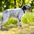 Stock Photo: English setter