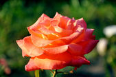 Orange rose flower — Stock Photo