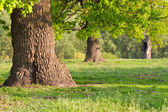 Oak in Sunny day — Stock Photo