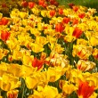 Yellow and red tulips over the grass — Stock Photo