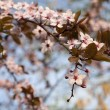 Tree branch with cherry flowers over natural background — Stock Photo