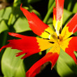 Stock Photo: Star shaped tulip