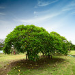 Trees — Stock Photo