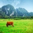 Grazing cow - Stock Photo