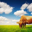 Cow eating green grass — Stock Photo