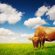 Cow eating green grass - Stock Photo