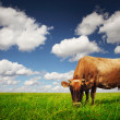 Stock Photo: Cow eating green grass