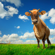 Cow on green grass - Stock Photo