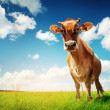Cow on green grass — Stock Photo #8148161