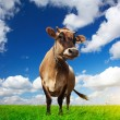 Cow on field — Stock Photo #8148563