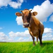 Royalty-Free Stock Photo: Cow on field