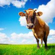 Cow on field — Stock Photo #8148593