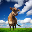 Cow on field — Stock Photo #8148717