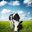 Cow on field — Stock Photo #8149013