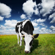 Cow on field - Foto Stock